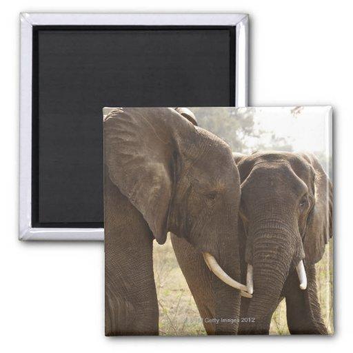 Dos elefantes africanos de Bush (Loxodonta African Imán Cuadrado