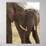Dos elefantes africanos de Bush (Loxodonta African Póster