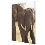 Dos elefantes africanos de Bush (Loxodonta Impresión En Lienzo Estirada