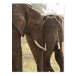 Dos elefantes africanos de Bush (Loxodonta Postales