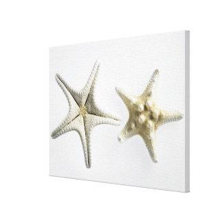 Dos estrellas de mar espinosas lona estirada galerías