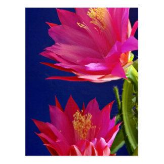 Dos flores de las floraciones del cactus de orquíd tarjetas postales