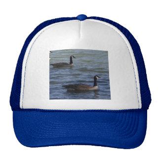 Dos gansos que nadan el gorra