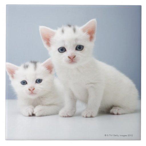 Dos gatitos blancos muy jovenes miran fijamente in azulejo cuadrado grande