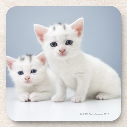 Dos gatitos blancos muy jovenes miran fijamente in posavasos de bebidas
