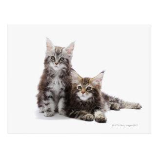Dos gatitos de gato de coon de Maine Tarjeta Postal