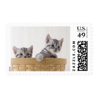 Dos gatitos de Shorthair del americano Envio