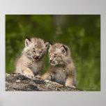Dos gatitos del lince de Canadá (lince Canadensis) Póster