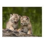 Dos gatitos del lince de Canadá (lince Canadensis) Tarjeta Postal