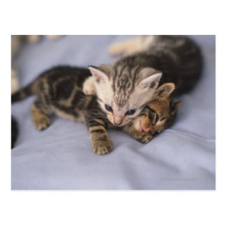 Dos gatitos tarjetas postales
