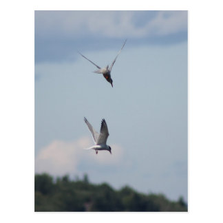Dos golondrinas de mar postales