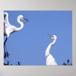 Dos grandes Egrets (Ardea alba) en un cortejo Póster