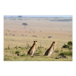 Dos guepardos en la mirada hacia fuera cojinete