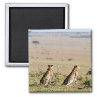 Dos guepardos en la mirada hacia fuera imán cuadrado