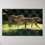 Dos guepardos impresiones