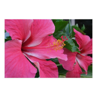 Dos hibiscos de las rosas fuertes impresiones