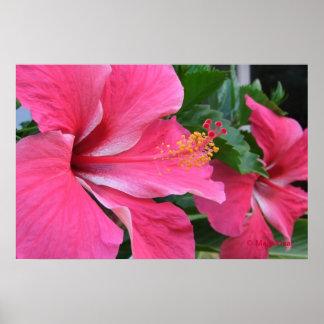 Dos hibiscos de las rosas fuertes póster