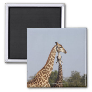 Dos jirafa, parque nacional de Kruger, Suráfrica Iman De Nevera