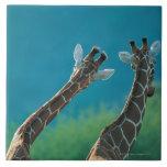 Dos jirafas (camelopardalis del Giraffa) Azulejo Cuadrado Grande