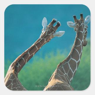 Dos jirafas (camelopardalis del Giraffa) Pegatina Cuadrada