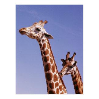 Dos jirafas cariñosas postal
