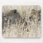 Dos leones ocultados en la hierba seca, nacional d alfombrillas de ratones