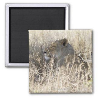 Dos leones ocultados en la hierba seca, nacional d imán para frigorifico