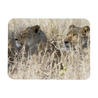 Dos leones ocultados en la hierba seca, nacional d imán rectangular