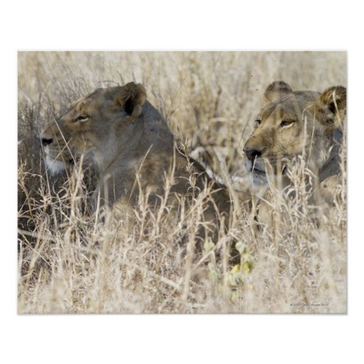 Dos leones ocultados en la hierba seca, nacional d póster