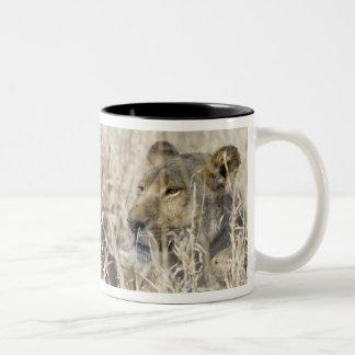 Dos leones ocultados en la hierba seca, nacional d tazas de café