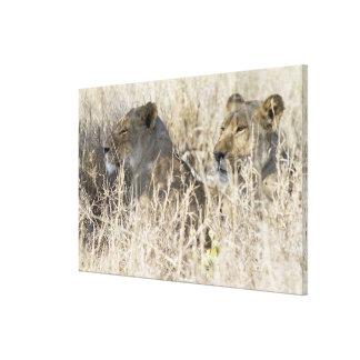 Dos leones ocultados en la hierba seca, nacional lienzo envuelto para galerías