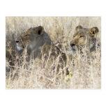 Dos leones ocultados en la hierba seca, nacional tarjeta postal