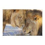 Dos leones que se frotan impresión en tela