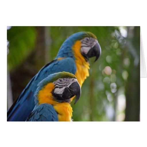 dos macaw c enfocada delantera bird.jpg tarjeta pequeña