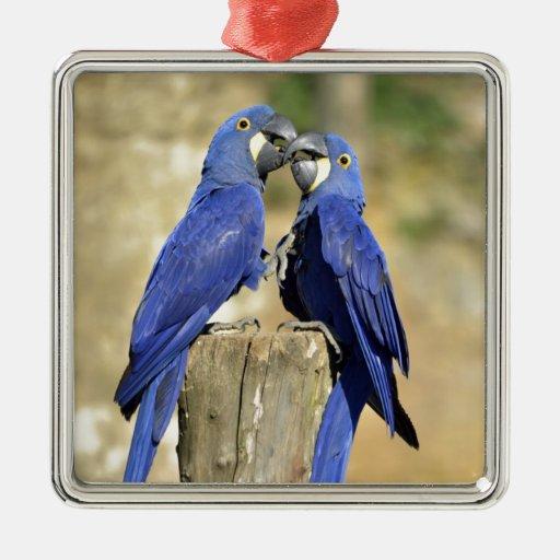 Dos macaws del jacinto adorno navideño cuadrado de metal