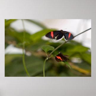 Dos mariposas póster
