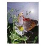 Dos mariposas que se acoplan en una flor, primer postales