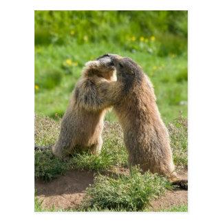 dos marmotas jovenes tarjeta postal