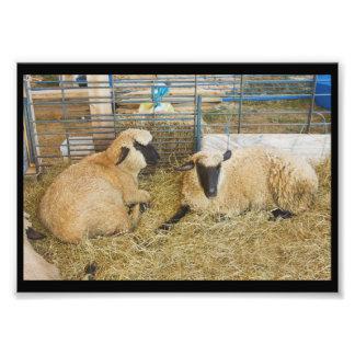 Dos ovejas hechas frente negras en un granero cojinete