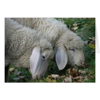 Dos ovejas que pastan la tarjeta en blanco
