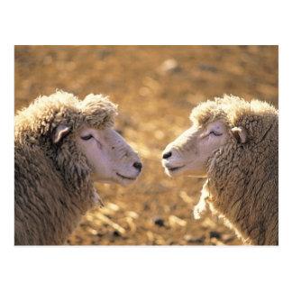 Dos ovejas tarjeta postal