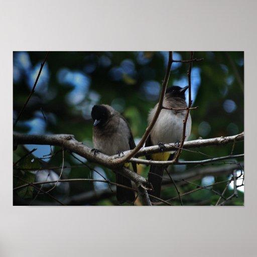 Dos pájaros del bulbul que comparten una rama póster