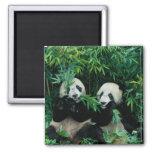 Dos pandas que comen el bambú junto, Wolong, 2 Imán Cuadrado