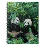 Dos pandas que comen el bambú junto, Wolong, 2 Notebook