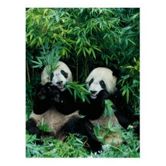 Dos pandas que comen el bambú junto, Wolong, 2 Postal