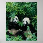 Dos pandas que comen el bambú junto, Wolong, 2 Póster