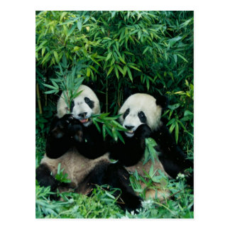 Dos pandas que comen el bambú junto Wolong 2 Tarjeta Postal