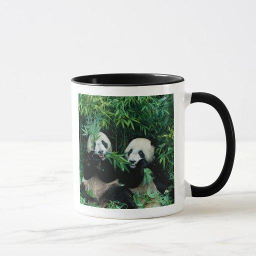 Dos pandas que comen el bambú junto, Wolong, 2 Taza
