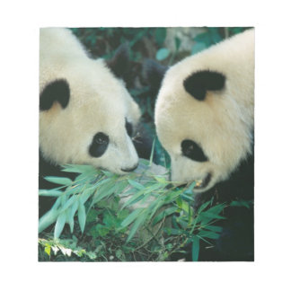 Dos pandas que comen el bambú junto, Wolong, Blocs