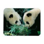 Dos pandas que comen el bambú junto, Wolong, Imán De Vinilo